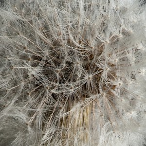 Close-up of dandelion seeds