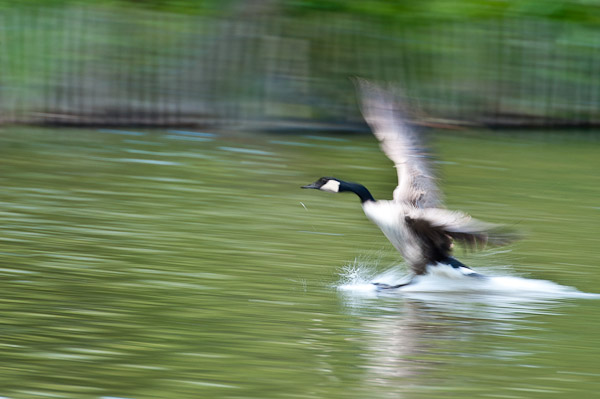 Canada goose landing on the lake