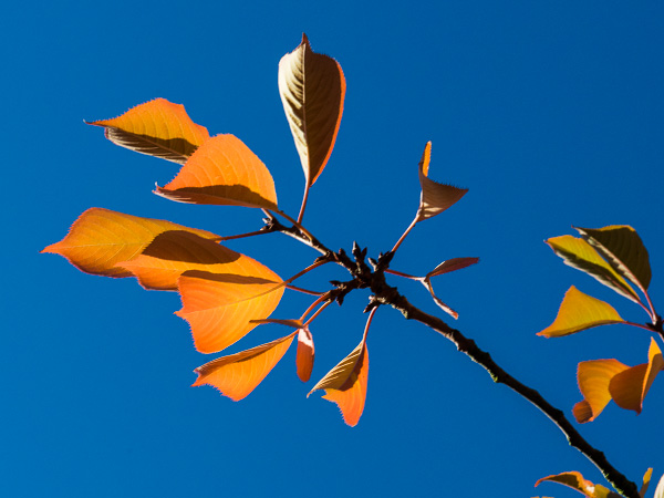 Orange on blue: A branch with autumn-orange leaves against a deep blue sky.