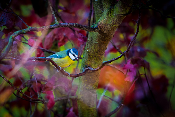 Picture 3: Blue tit and autumn tree