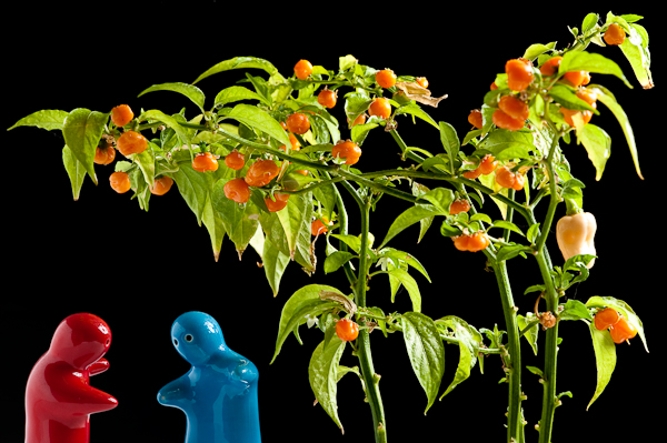 Don't sit under the chilli tree