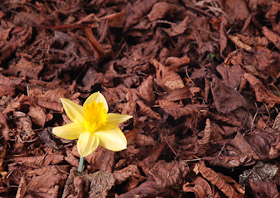 A bright daffodil set amongst dried leaves