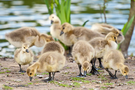 A group of goslings searching for food by the lake