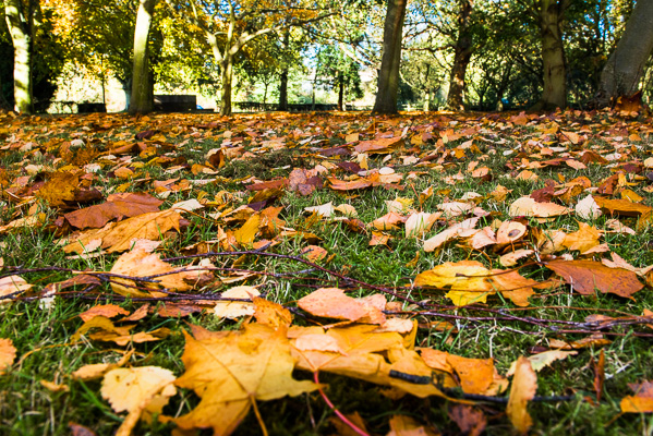 Yellow and Green: Autumn leaves on grass