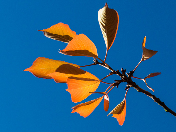 Picture 2: Orange leaves on blue sky