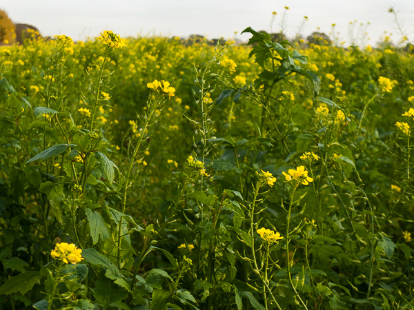 Picture 5:  Rapeseed