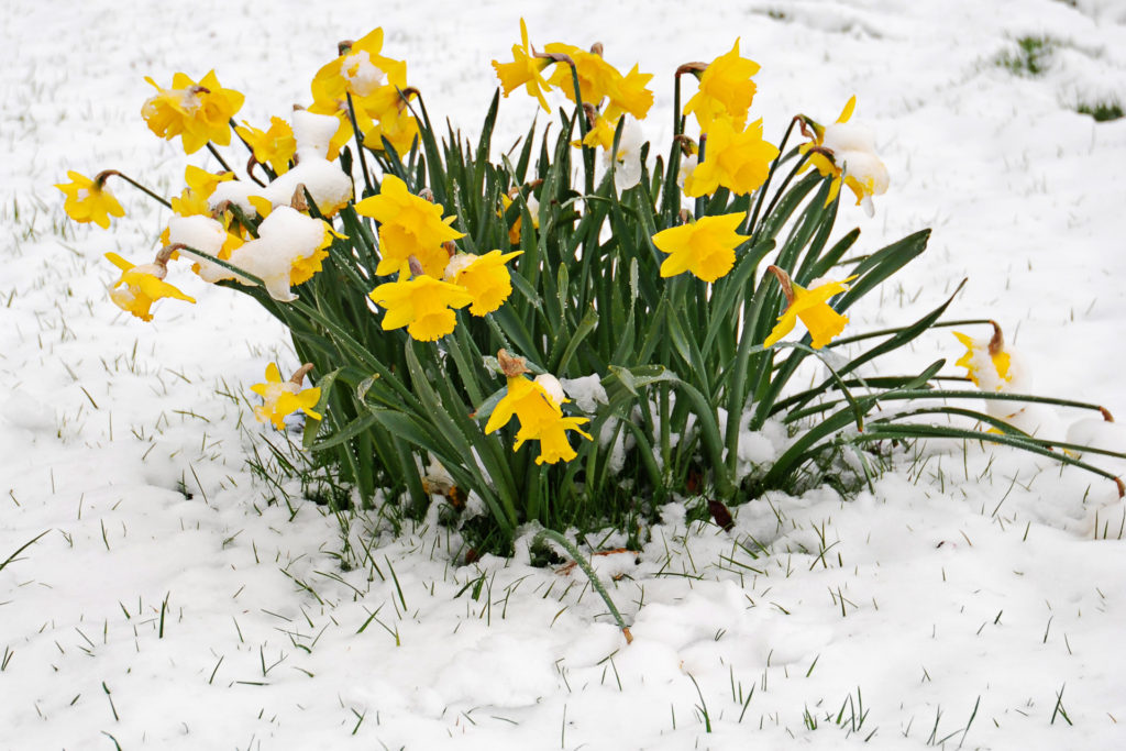 Daffs In Snow